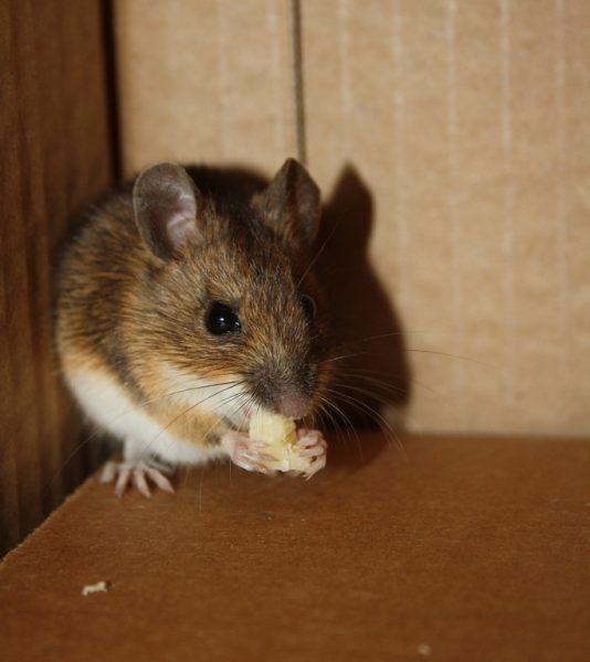 Hoe bestrijd ik muizen?